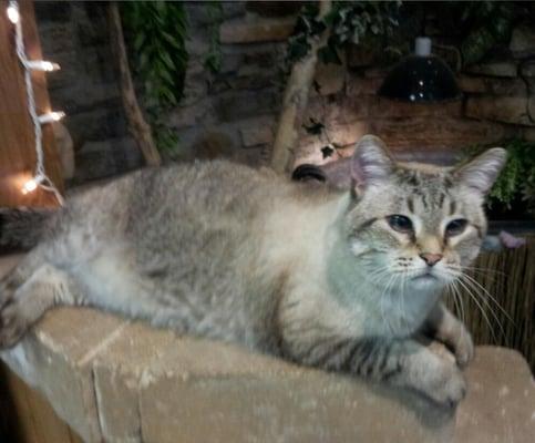 ragdoll kittens cats
