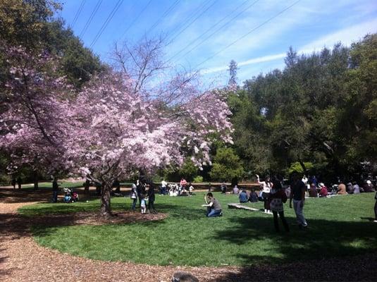 Cherry blossom festival festivals la canada flintridge - Descanso gardens cherry blossom festival ...
