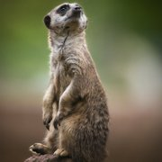 Meerkat at Chester Zoo