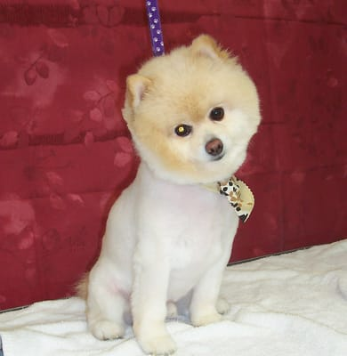 Teddy Bear Pomeranian Cut http://www.yelp.com/biz_photos/mission-bay-pet-salon-and-wash-san-diego?select=YtXKpNN_-EW5r_ObY81llQ