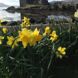 Although Eliean donan castle during low tide appears weary looking, the blooming daffodils' were in season!