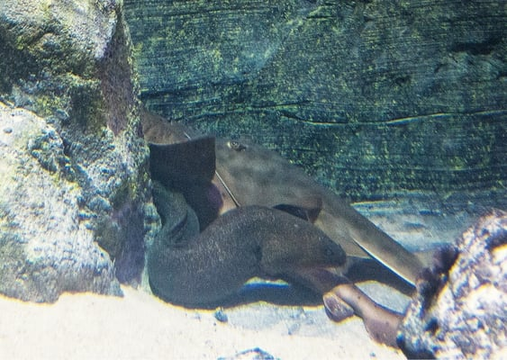 A Skate A Nurse Shark An Eel Huddled Together Friends