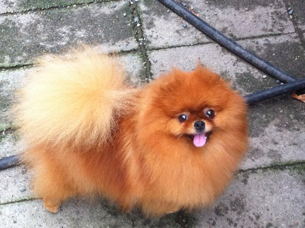 Beautiful red Pomeranian | Yelp