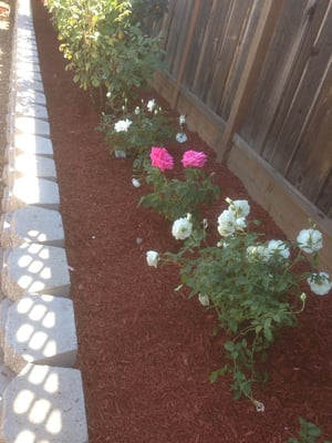Retaining Wall And Golden Gate Red Mulch In The Rose